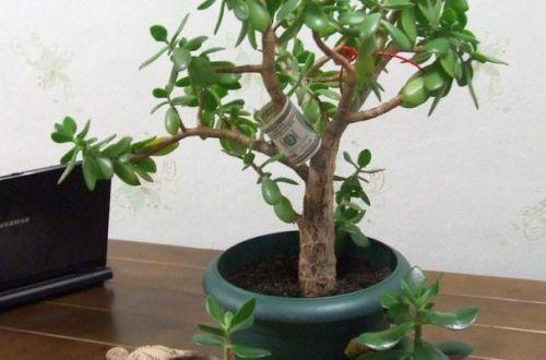 Где поставить денежное дерево, чтобы привлечь финансы